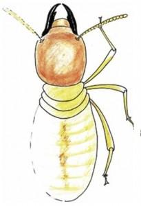Termites - Mastotermes
